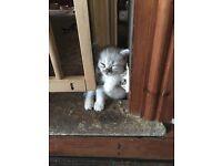 Chinchilla X Bengal Kitten