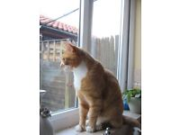 Missing from Lound - Ginger and White cat called Aslan
