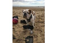 British bulldog 13 month old male