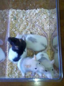 Adorable Baby Rats !! Ettalong Beach Gosford Area Preview