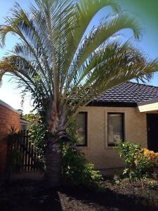 Palm Tree large-you remove Redcliffe Belmont Area Preview