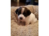 Jack Russel cross chihuahua pup