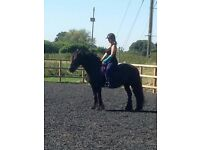 Dales mare 14.2hh for part loan just outside Wisbech (Pony/Horse)