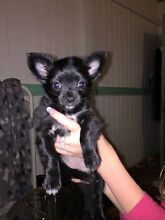 2 pure breed chihuahua girls for sale  Greenbank Logan Area Preview