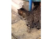 Beautiful, affectionate 6yrs old Bengal tomcat for new home without other pets