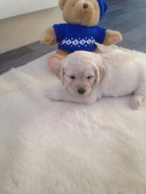 Beautiful labradoodle puppys 5 girls 2 boys