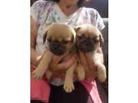 Beautiful 3/4 pugs for sale