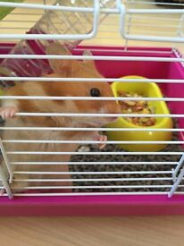 Male friendly hamster with cage,food,bedding ect