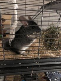 2 male chinchillas