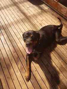 Rottweiler  female Muswellbrook Muswellbrook Area Preview