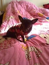 Gorgeous Chihuahua for sale! Parramatta Parramatta Area Preview