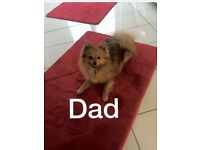 Boy Pom puppy full bred mum & dad full Kc reg he's last of the litter very playful & gorgeous