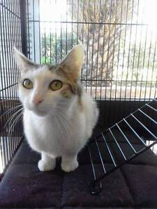 Rescue Cats/Kittens for Adoption Blaxland Blue Mountains Preview