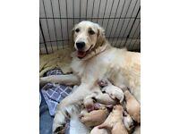 Cream and Golden retriever puppies