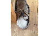 Lovely Siamese kittens
