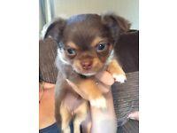 Chocolate Girl Chihuahua