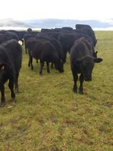 Angus x calves Mole Creek Meander Valley Preview