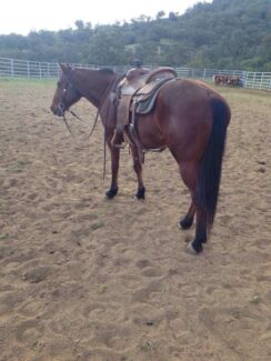 QH gelding 6 yr old Gundy Upper Hunter Preview