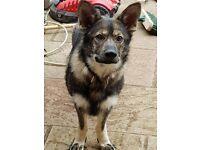 german shepherd young adult