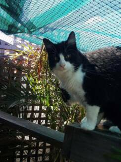 AK1039 : Chubba - CAT for ADOPTION - Vet Work Included