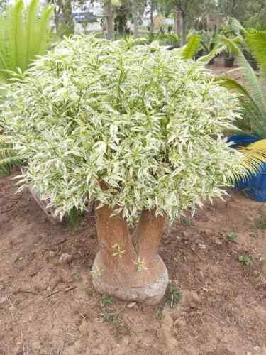 "Adansonia za Variegated ""za baobab Variegated"" Graft Plant Live Tropical RARE"
