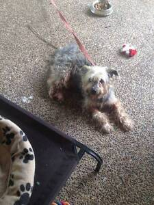 Silky Terrier X Free to good home! Bellbowrie Brisbane North West Preview