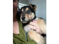 8 week old male pup