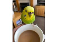 Lost budgie in the Kingswood area