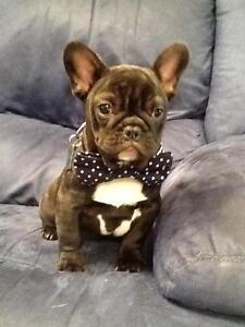 French Bulldog Puppy Jimboomba Logan Area Preview