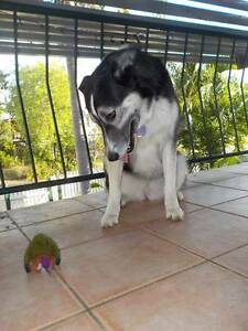 Affectionate family dog, Ellie. 4 years old. Cranbrook Townsville City Preview