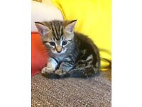 8 week old Bengal male kitten. Litter trained, very confident and playful needs a loving home.