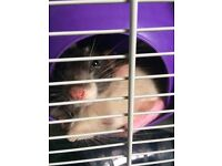 2 male pet rats in need of loving home!