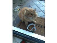 Beautiful big fluffy ginger cat