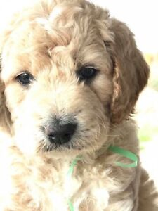 Guardian Home for Male F1b Goldendoodle