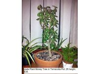 Large Jade Plant Money Tree