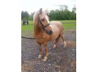 Goldie ,Palomino gelding ,Field companion for sale