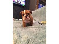 English Bulldog puppies for sale!