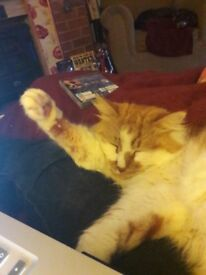 Missing ginger and white long haired cat