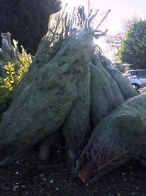 Luxury Nordman Fir Christmas Trees Dropped To Your Door Order Now
