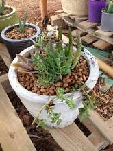 Stunning White ceramic pot, potted with 5 types of succulents Wattle Grove Kalamunda Area Preview