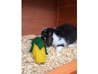 2 pure breed rabbits with hutch