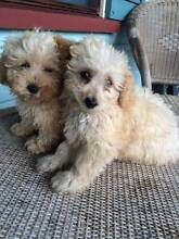 Male Toy Poodle pup Parkwood Gold Coast City Preview