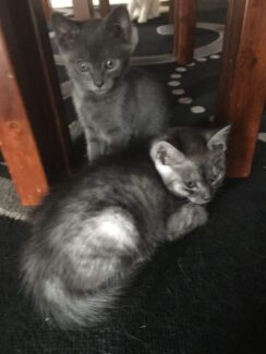 Kittens Give Away