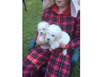 toy poodle dog puppies for sale