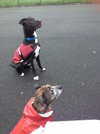 collie x alsation for rehoming