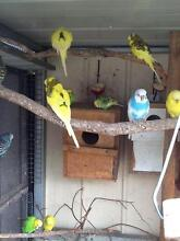Adult and Baby Budgies Howrah Clarence Area Preview
