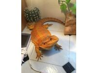 Bearded dragon with vivarium set up