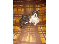 2 male french bulldogs (blue, blue patched)