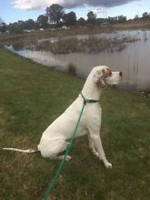 Pointer (English) dog needs loving home Newcastle Newcastle Area Preview