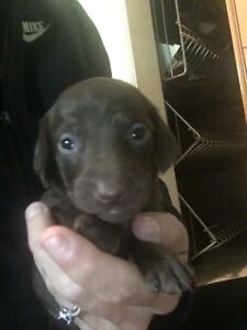 Miniature Dachshund Puppies long coat and smooth